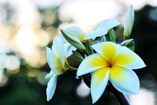 Sunrise derrière le Tipanier à Tahiti