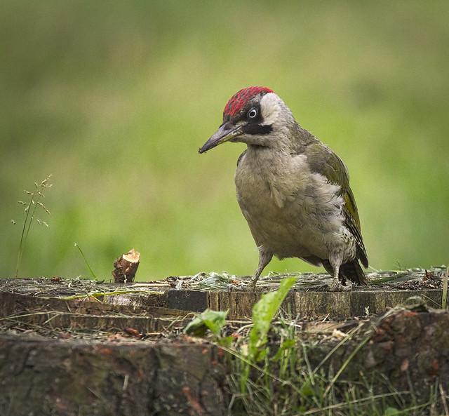 Mrs Woodpecker