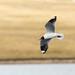 Gulls, Terns, and Skimmers - Laridae