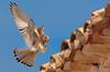 Landing! Lesser kestrel (Falco naumanni) - Aterrizando! Cernícalo primilla (Falco naumanni) by Juan María Coy