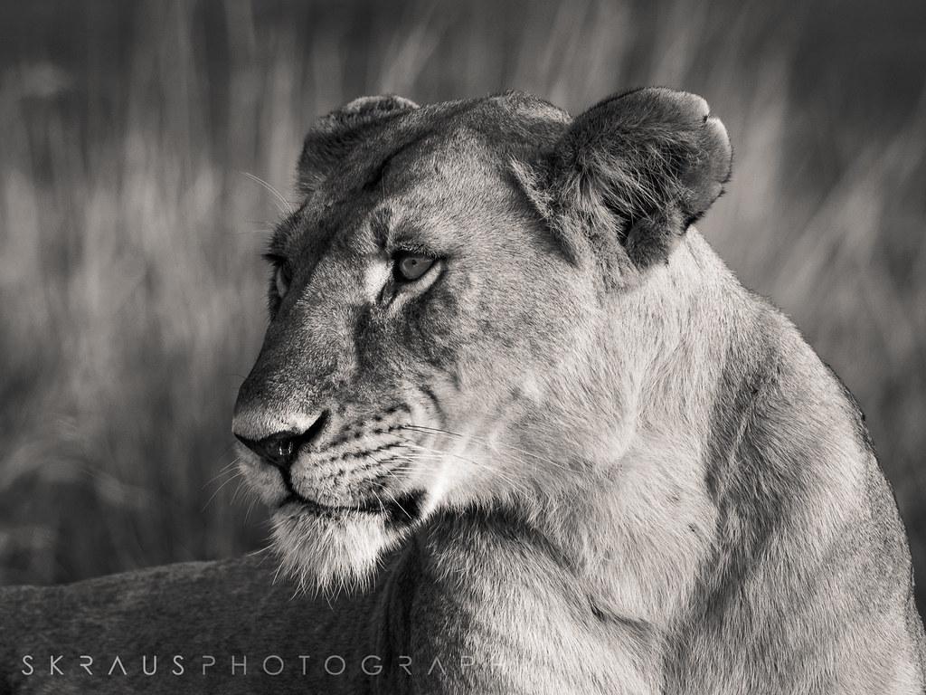 Lioness b-w