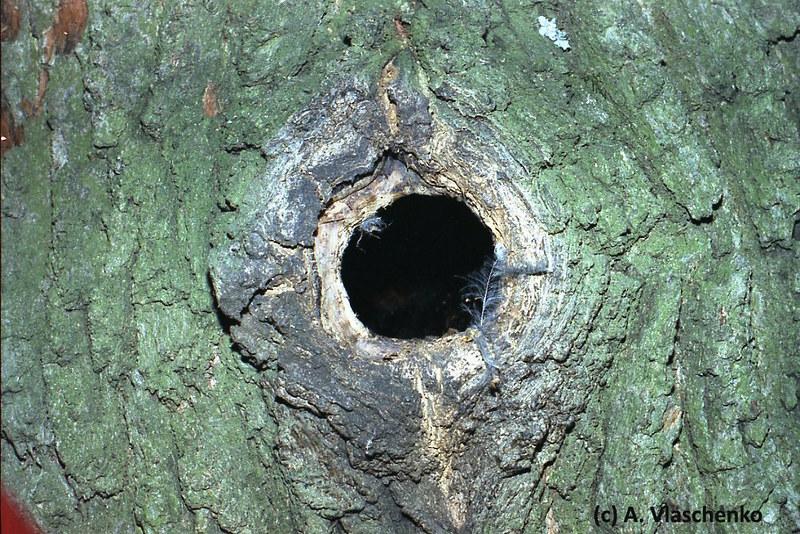 Старое дупло дятла в дубе, попеременно используется рукокрылыми и птицами