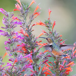 More Agastache for Hummy