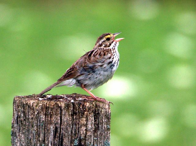 Savannah Sparrow 04-20170723