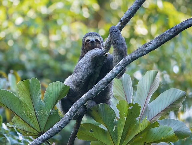 Friendly Sloth (bicho preguiça) in Ubatuba