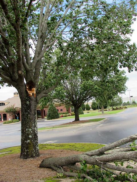 Storm Damaged Tree.