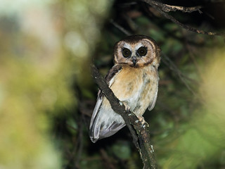 Unspotted Saw-whet-Owl | by nickathanas