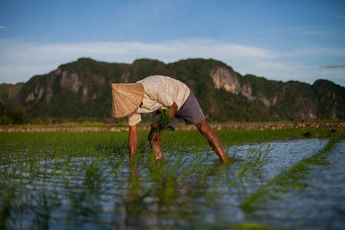Planting Rice | by CIFOR