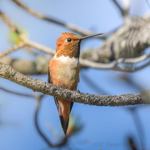 Rufous Hummingbird (Selasphorus rufus) 205/365 July-24