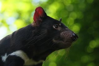 [1221] Tasmanian devil | by zoofanatic