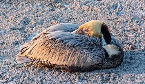 ameilaisland florida jackkennard nikon nikond5200 sunset travel travellocal atlanta ga usa bird pelican