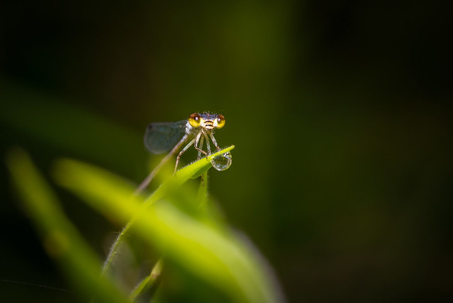 Damselfly and Dewdrop