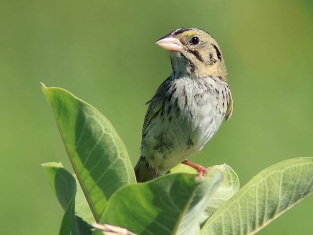 Henslow's Sparrow 02-20170725
