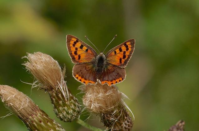 Small Copper ---- Lycaena phlaeas
