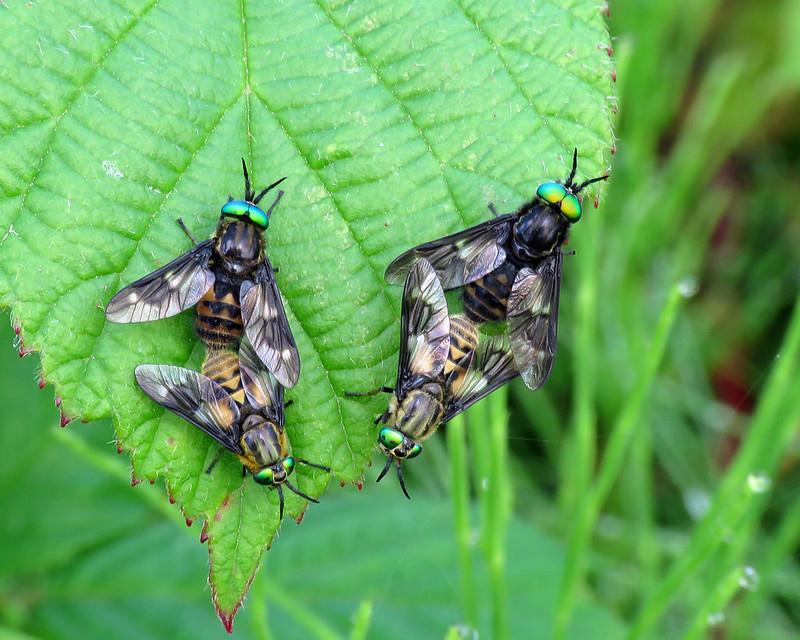 Twin-lobed Deerfly - Chrysops relictus