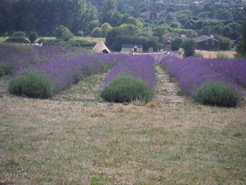 Main Field, Hitchin Lavender (Cadwell Farm), from bridleway north of farm SWC Walk 233 - Arlesey to Letchworth Garden City