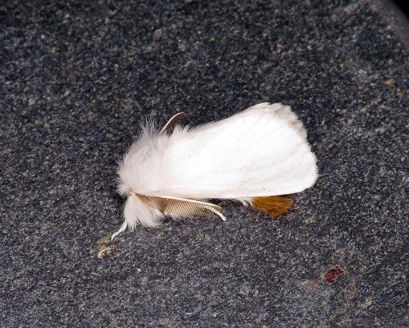 72.012 Brown-tail - Euproctis chrysorrhoea