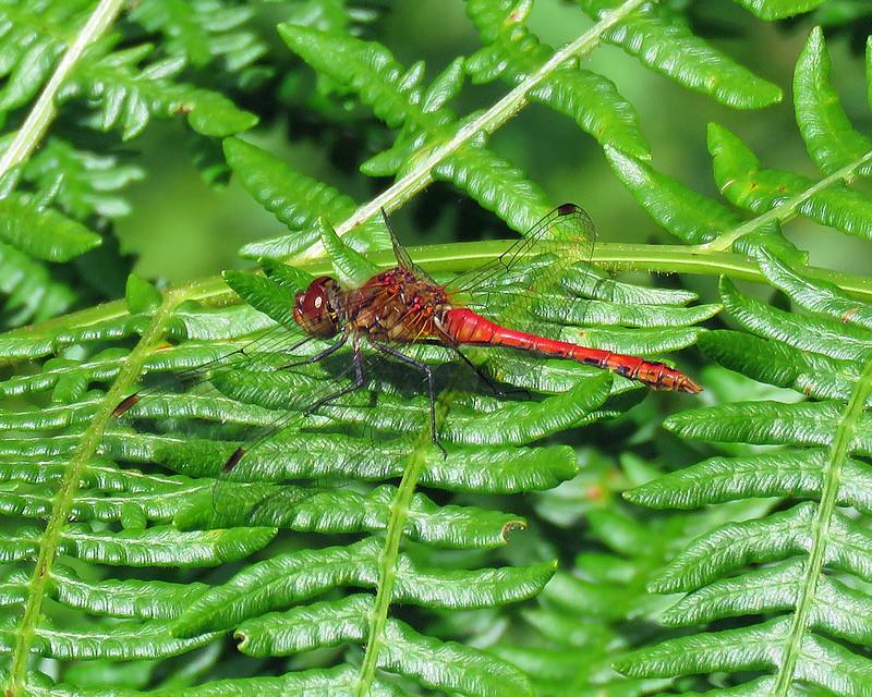 Ruddy Darter - Sympetrum sanguineum