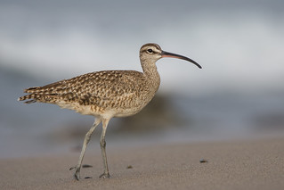 Whimbrel, Malibu | by JEO126
