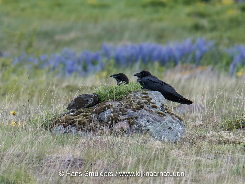 Raaf (Corvus corax) 817_3670