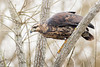 Aguila Negra - Buteogallus urubitinga - Great Black-Hawk by Jorge Schlemmer