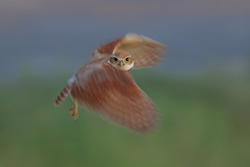 burrowingowl southern california canon7d270200mmf28l juvenile bmse salah baazizi wingsinmotion