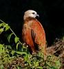 Belize: Black-collared Hawk by spiderhunters