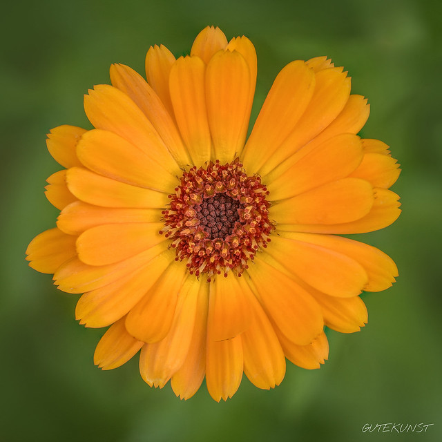 So, 2017-07-23 13:08 - calendula n°1 Ringelblume - Focus Stack