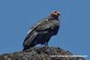 California Condor (Gymnogyps californianus), adult DSC_1434 by fotosynthesys