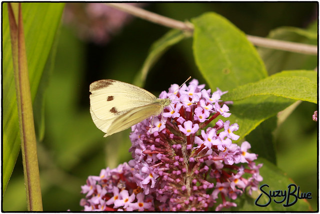 Large White Butterfly (female)