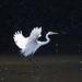 ダイサギ(Great Egret)