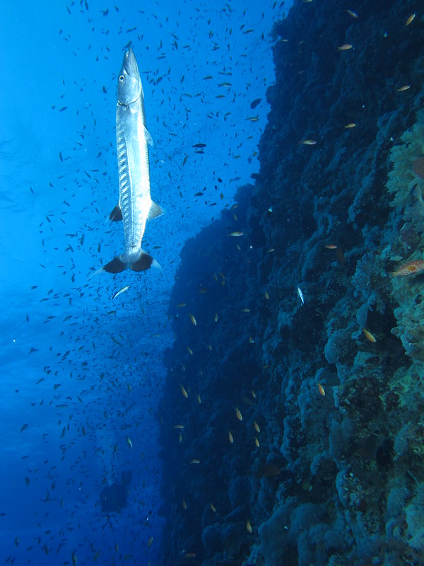 Baracuda hanging vertically being cleaned by cleaner wrasses, Elphinstone Reef, Red Sea, Egypt.
