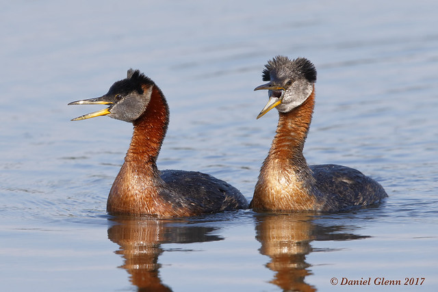 Red-necked Grebes having a discussion...