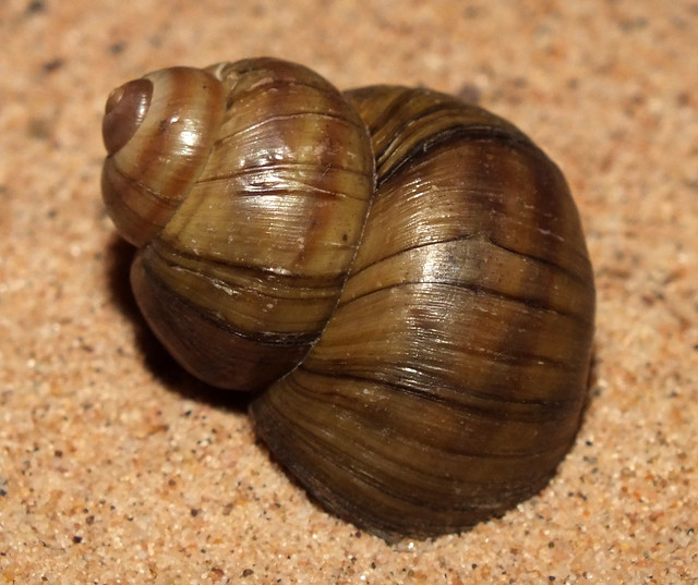 River snail (Viviparus viviparus viviparus)
