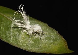 Flatid Planthopper Nymph (Flatida sp., Flatidae) | by John Horstman (itchydogimages, SINOBUG)