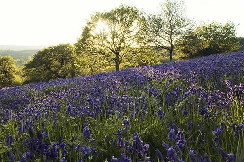 dartmoor sunset goldenhour devon 2014 bluebells flowers whiddondeerpark spring canon 1100d radlab england uk woods moretonwoods forest