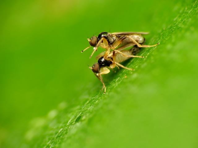 Tiny Danceflies Mating