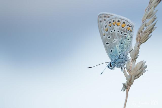 common blue / icarusblauwtje