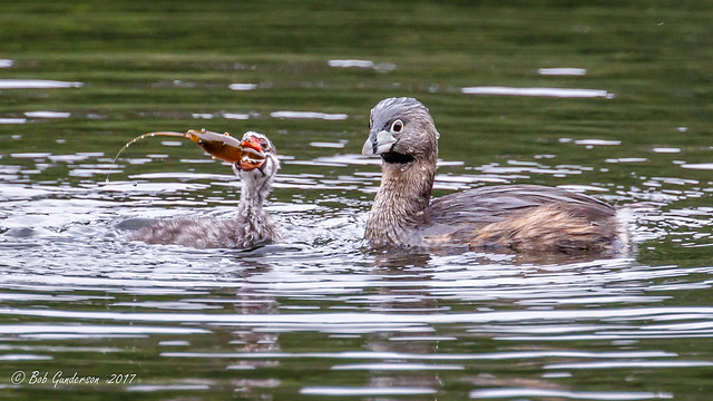 Pied-billed Grebes - a Proud Parent