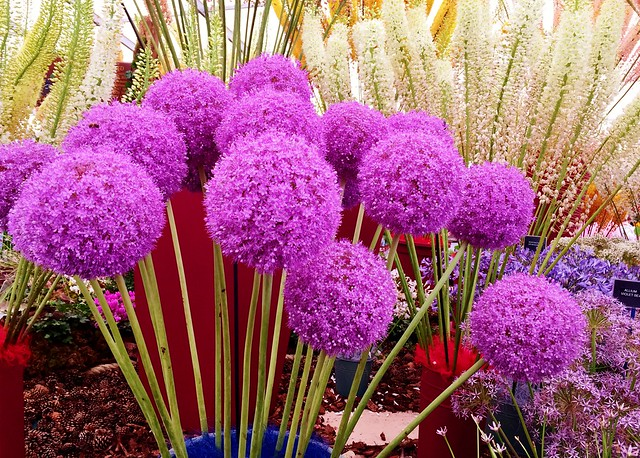 RHS Hampton Court Palace Flower Show 2017 - Allium