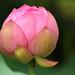 Lotus by Teruhide Tomori