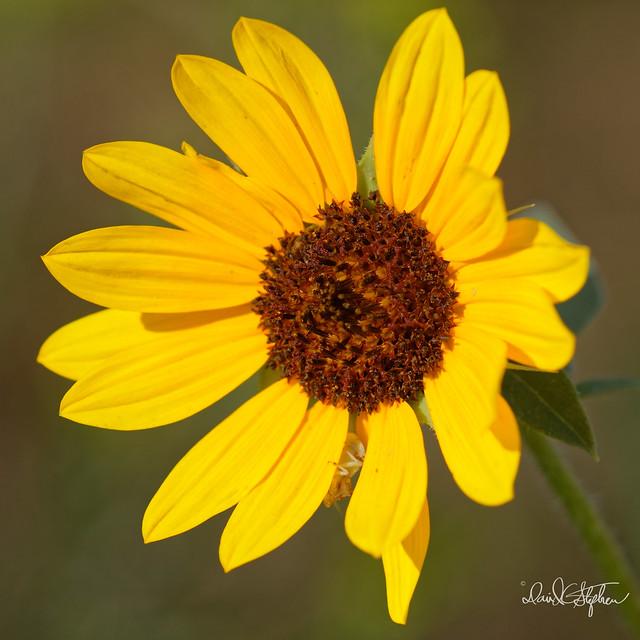 Wild Sunflower (Explored)