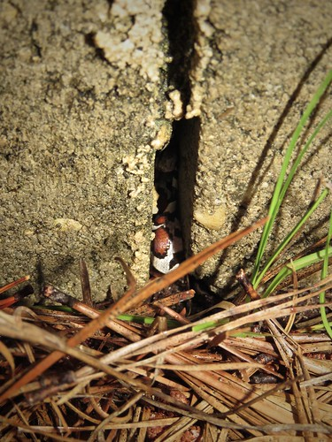 Coastal Plains Milk Snake (in-situ) | by Justin Lee (NoNameKey)