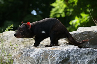 [1180] Tasmanian devil | by zoofanatic
