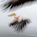 Pelican Escort by Marsel van Oosten