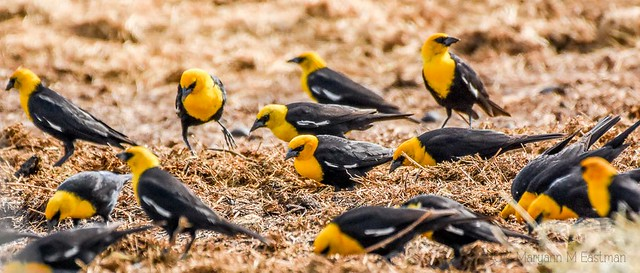 Yellow-headed Blackbird (Xanthocephalus xanthocephalus) 200/365 July-19