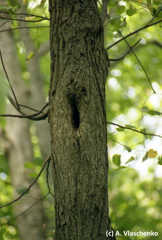 Щелевидное дупло в липе на месте выпавшей ветви, используется водяными ночницами