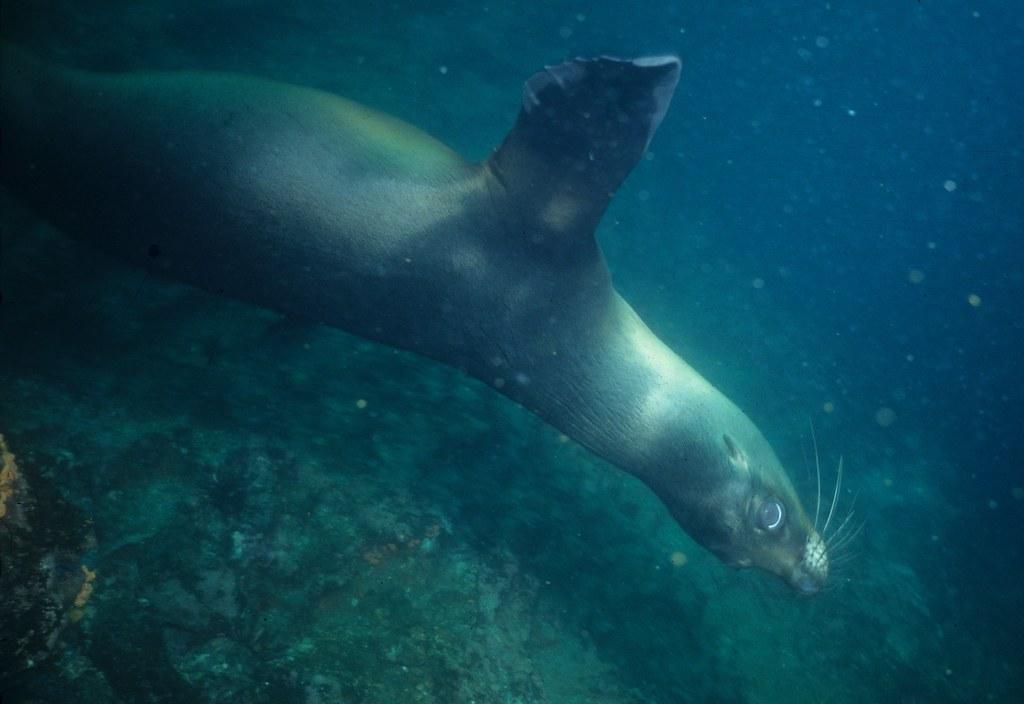 Galápagos sealion: underwater