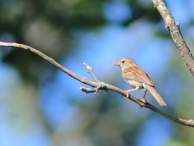 Field Sparrow 01-20170709