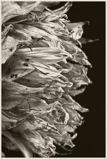 Sunflowers #24 2017